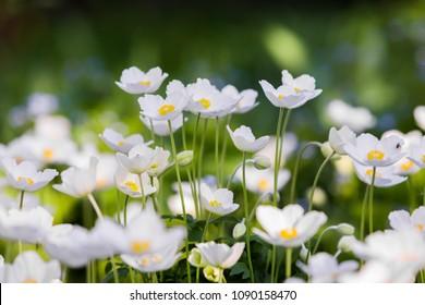 Snowdrop - Anemone Anemone sylvestris - in Spring season. Soft focus