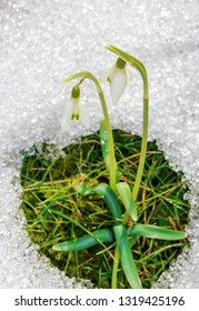Snowdrop blossom out of the snow. Birth of Springtime