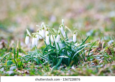 Snowdrop blossoms. Spring flowers