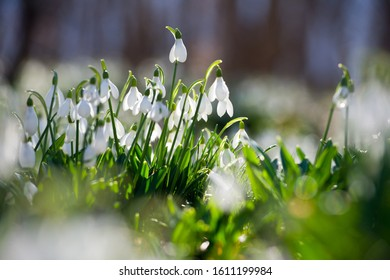 Snowdrop or common snowdrop (Galanthus nivalis) flowers. In the forest in the wild in spring snowdrops bloom.