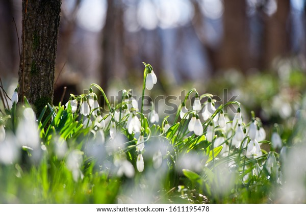 Snowdrop or common snowdrop (Galanthus nivalis) flowers.Snowdrops after the snow has melted. In the forest in the wild in spring snowdrops bloom.