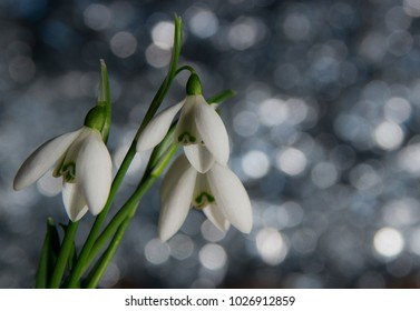 Snowdrop in february