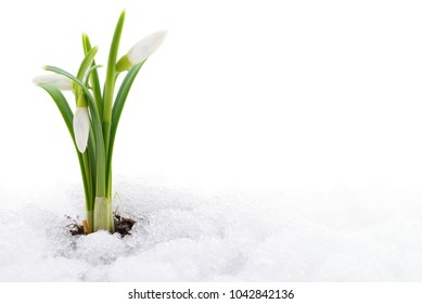 Snowdrop flower coming out from real snow.