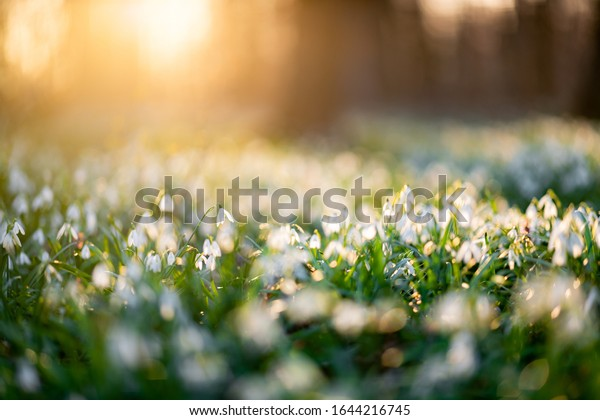 Snowdrop flower in the flowerbed of snowdrops during sunset,