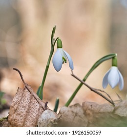 snowdrop flower on the first days of spring