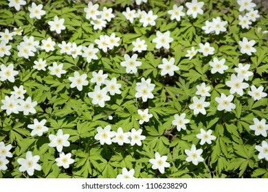 Snowdrop flowers as a background
