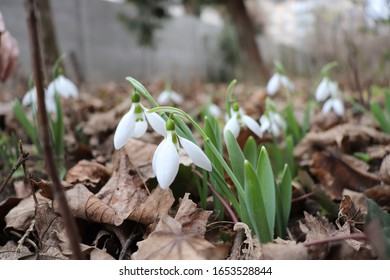 snowdrop flowers of the city