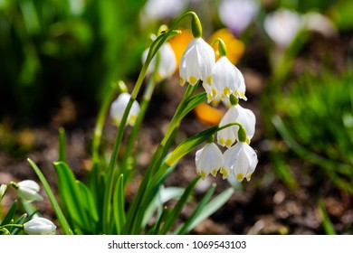 Snowdrop flowers, Galanthus nivalis, close up in sunny spring day. Low angle, full frame horizontal crop