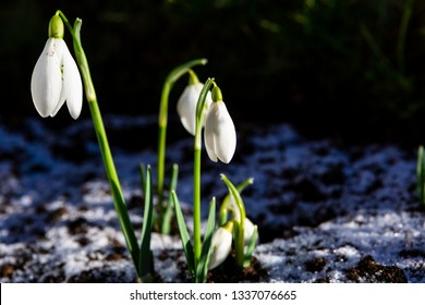 Snowdrop flowers (Galanthus nivalis) grow on snowy ground. Symbol of new life, spring and Easter holiday.