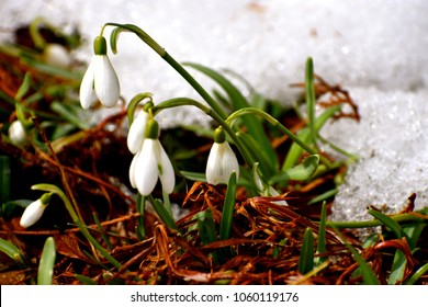 Snowdrop flowers in garden bed