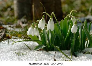 snowdrop, Galanthus nivalis