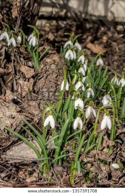 Snowdrop Galanthus Nivalis Garden Moscow Region Stock Photo Edit