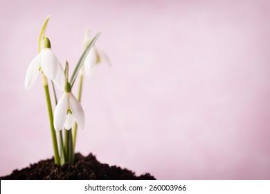 Snowdrop ground stack. Springt time.