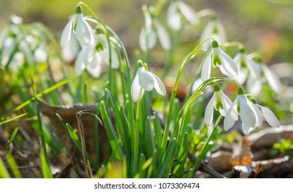 Snowdrop - spring begins