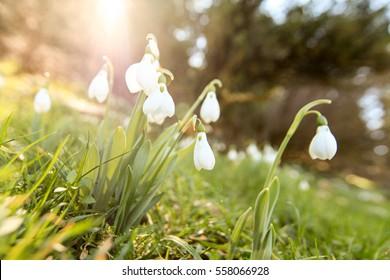 snowdrops flowers images stock photos vectors shutterstock