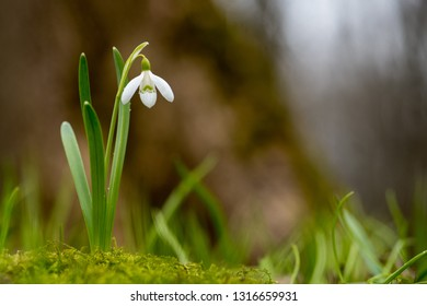 Snowdrop spring flowers. Fresh green well complementing the white Snowdrops blossoms