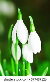 Snowdrops blossom in spring
