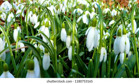 Snowdrops in Early Springtime