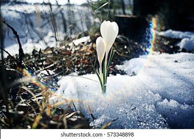 snowdrops first white crocus wild flowers spring snow