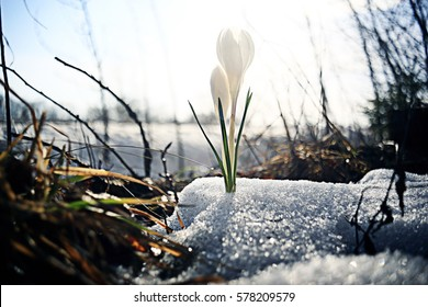 snowdrops first white crocus wild flowers spring snow