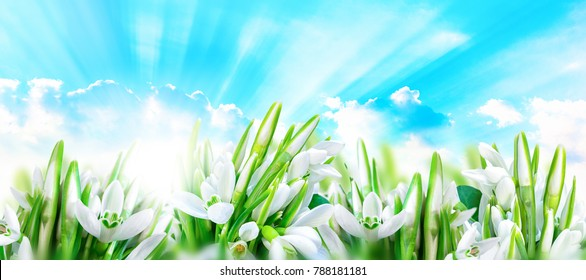 Snowdrops flower blossom, clouds, sky and sun light. Panorama nature background. Greeting card