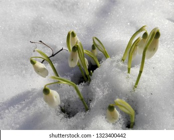 snowdrops in the frozen snow in a February morning