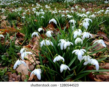 Snowdrops (Galanthus) in an English garden. A very pretty herbaceous perennial plant