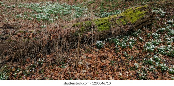 Snowdrops (Galanthus) in the forest, surrounding a fallen tree trunk. A very pretty herbaceous perennial plant