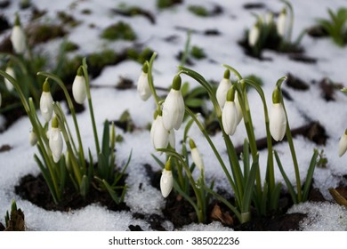 Snowdrops (Galanthus nivalis) emerging in snow