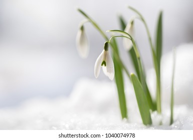 Snowdrops (Galanthus nivalis) grow out of the snow, the first flowers when spring is coming, macro shot with copy space in the snowy background, selected focus, narrow depth of field