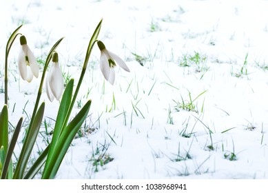 Snowdrops in the Garden  on the Snow.