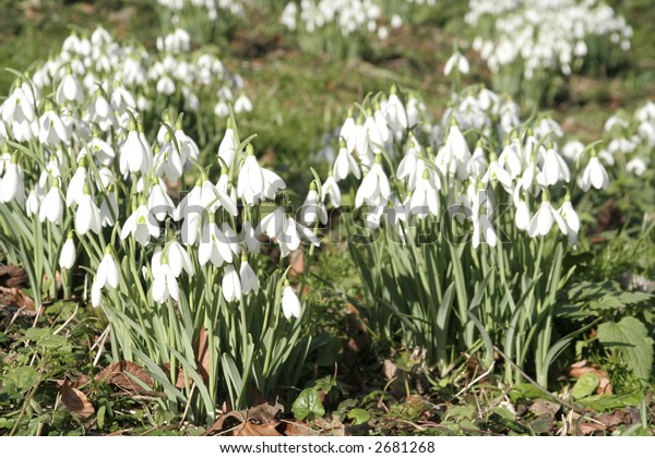 Snowdrops in a glade in the Cotswolds