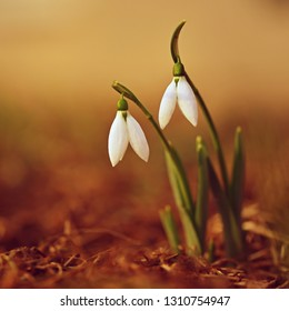 Snowdrops in grass in the garden. Beautiful first spring flowers. Colorful natural background.(Galanthus)