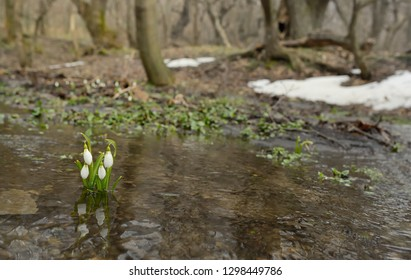 Snowdrops growing on a forest in spring time