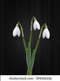 Snowdrops isolated on black background
