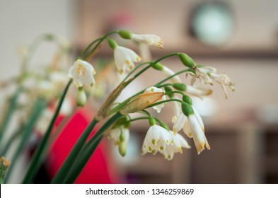Snowdrops in room, Winter time