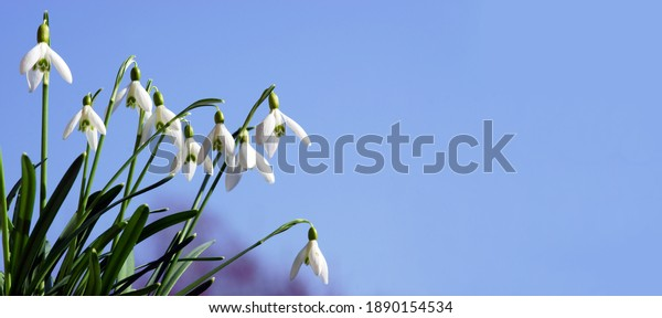 Snowdrops in spring with blue sky, banner