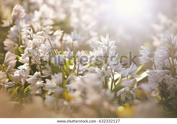 Snowdrops in the spring sun with blurred background and foreground, shallow depth of field. Floral background.