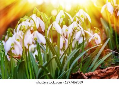 Snowdrops in the sun