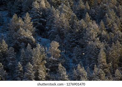 Snowed trees in Aragnouet, Hautes-Pyrenees, Occitanie, France