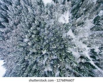 Snowed trees in Somport, Huesca, Spain