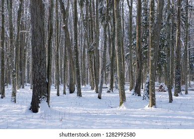Snowfall after deciduous stand in morning with snow wrapped trees, Bialowieza Forest, Poland, Europe