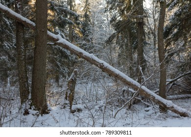 Snowfall after deciduous stand in morning with snow wrapped spruce trees mostly and old alder trees in foreground, Bialowieza Forest, Poland, Europe