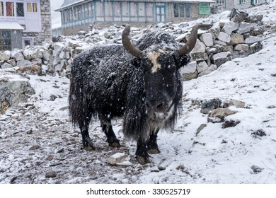 Snowfall in Gokyo mountain village, Everest region, Nepal. A black yak covered with snow in the street of Gokyo