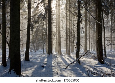 Snowfall inside natural stand of Bialowieza Forest direct into sun
