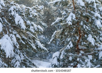 Snowfall in pine winter forest in sunshine