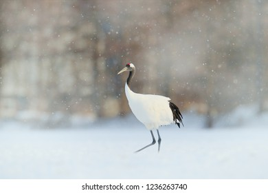 Snowfall with Red-crowned crane on the meadow, Hokkaido, Japan. Bird feeding, winter scene with snowflakes.  Crane in forest meadow.
