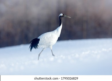 Snowfall Red-crowned crane in snow meadow, with snow storm, Hokkaido, Japan. Bird in fly, winter scene with snowflakes. Snow dance in nature. Wildlife scene from snowy nature. Cold winter. Snowy.