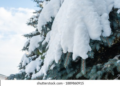 snowfall. snowdrifts on spruce paws. snowy spruce paws of the tree in the snow, fresh snowdrifts. Green branches of spruce in a snowdrift of snow in the bright winter sun in the forest