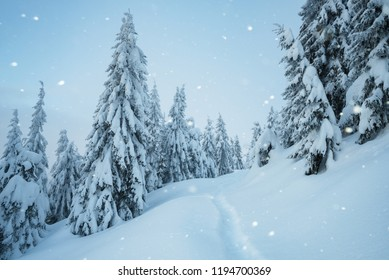 Snowfall in the winter forest. Footpath in the snow. Evening landscape with fir trees. White Christmas